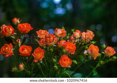 Stock Photo Orange roses on fresh green leaf background and bokeh blure with shallow depth of field. Soft focus.