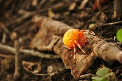 Orange Shamrock Orb Weaver Spider Close Up on Rusty Hinge