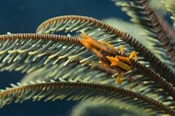 Orange shrimp ctab in crinoid macro
