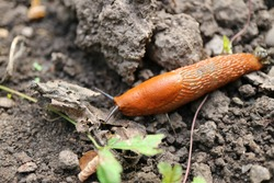 Orange slug crawling on the dirt