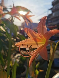 Orange Sovereign : Beautiful orange Star Lily or Hippeastrum johnsonii Bury,Hippeastrum johnsonii Bury is a flowering shrub about 35-60 centimeters tall.Thailand.