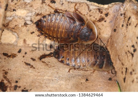 Orange spotted roach, Blaptica dubia in dirt