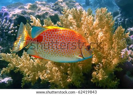 Orange spotted spinefoot (Siganus guttatus), Koh Tao island, Thailand