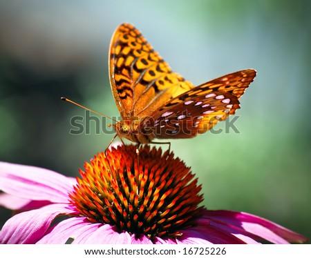 Orange Spring Butterfly sitting on Pink Flower