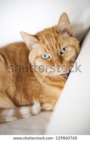 Orange Striped Cat Looking At Camera