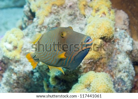 Orange Striped Trigger fish (Balistapus Undulatus)