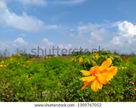 Orange Sulfur Cosmos, Cosmos sulphureus is also known as sulfur cosmos and yellow cosmos