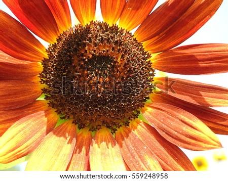 Orange Sunflower #559248958