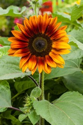 Orange sunflower plant with blossom and green background