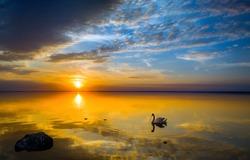 Orange sunset horizon water background. Swan in sunset water