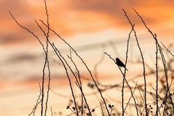 Orange sunset sky and a black silhouette of a dunnock, a small bird, perching and singing on a dog rose twig. Wires in the background.