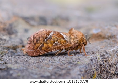 Orange Swift moth ( Triodia sylvina ) in the family Hepialidae. Sitting on a rock. #1013133778