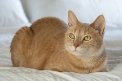 Orange Tabby Cat Basking in the morning sun light while resting in bed