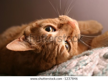 Orange tabby cat, closeup of face, upside down.