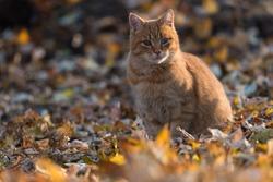 orange tabby cat in autumn