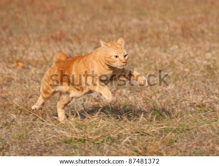 Orange tabby cat running across autumn grass field in high speed - stock photo