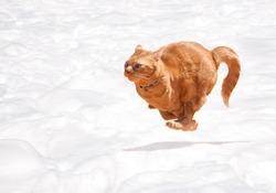 Orange tabby cat running across snow in full speed
