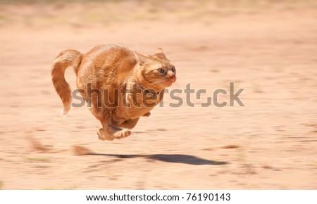 Orange tabby cat running full speed across red sand