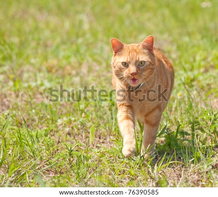 Orange tabby cat running towards viewer in green grass