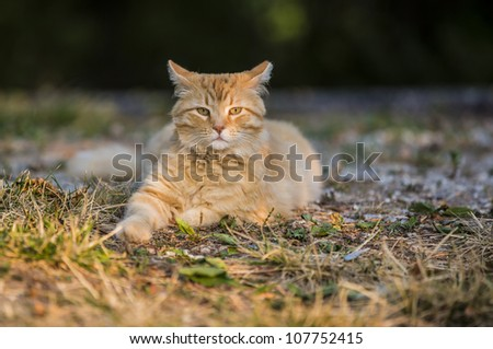 Orange tabby cat waking up outside in the morning