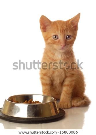 orange tabby kitten sitting beside the food bowl - seven weeks old
