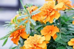 Orange tagetes. Orange flowers of tagetis. Blooming marigold. Home gardening. Flowers after rain. Drops on a green leaves of flowers. Summer flowers.