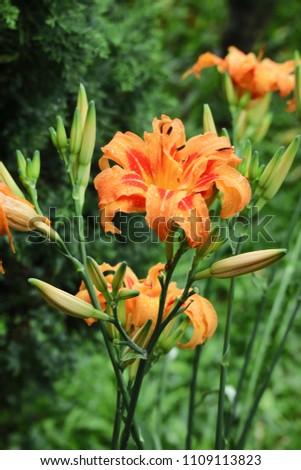 Orange Tawny daylily bloom during the rainy season.