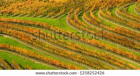 Orange Thumbprint 1 - Autumn grape rows follow the contours of the vineyard. Alexander Valley, California, USA #1258252426
