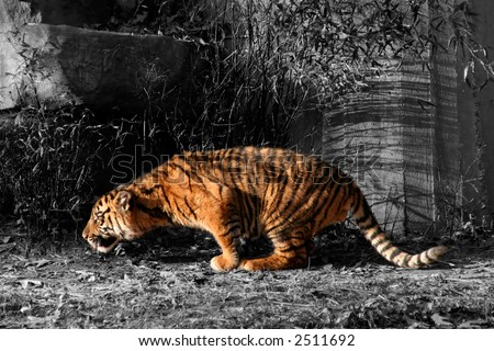 Orange Tiger Cub against Grayscale Background