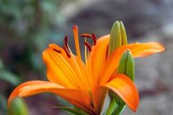 Orange Tiger Lily Detail showing Pistil and Stamen