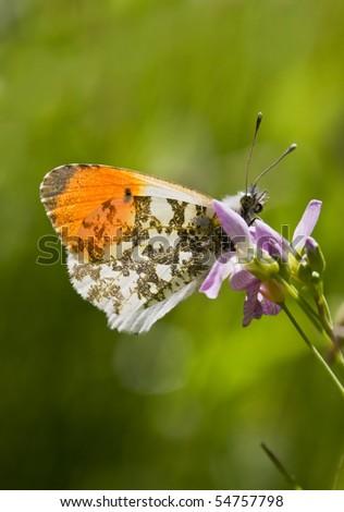 Orange Tip (Anthocharis cardamines)on a Cuckoo flower.
