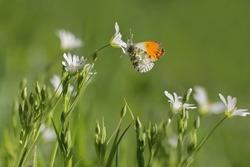 Orange Tip butterfly, anthocharis cardamines  and Field Chickweed (Cerastium arvense)