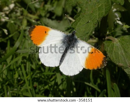 Orange-tip Butterfly (Anthocharis cardamines) Male 01