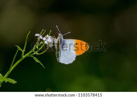 Orange-tip Butterfly (Anthocharis cardamines ssp. britannica)