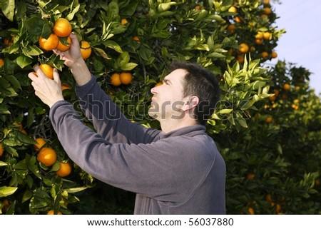 orange tree field male farmer harvest picking fruits in mediterranean Spain
