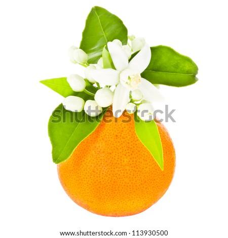 Orange Tree Flower Orange Tree Flowers on a Big