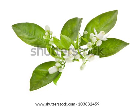 Orange tree flowers on a branch isolated on white background.