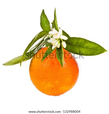 Orange Tree Flower Orange Tree Flowers on a