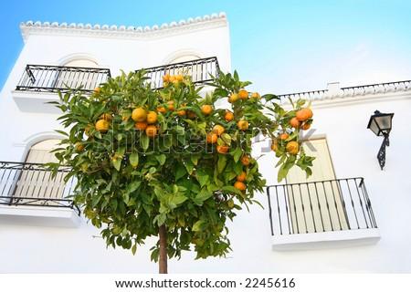 Orange Tree In The Sun