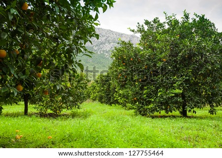 Orange Tree in Turkish garden