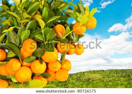 orange tree on nature background