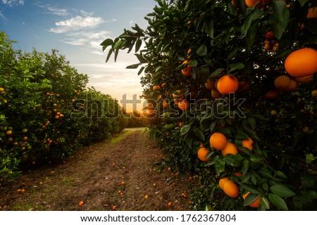 Orange tree plantation in a sunny day Foto stock ©