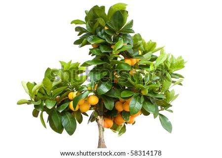 Orange Tree with Fruit Isolated on White Backround