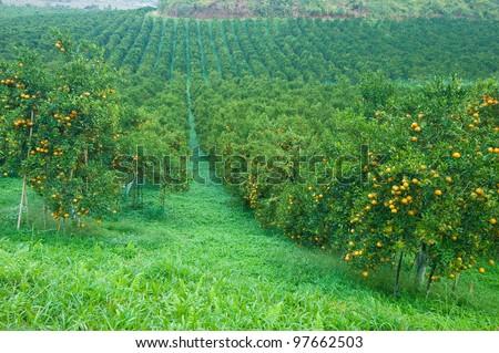 Orange trees plantation with fruits