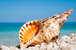 Orange triton shell with strong tiger markings standing upright on bright smooth pebble Mediterranean beach