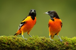 Orange tropic birds. Baltimore Oriole, Icterus galbula, sitting on the green mossy branch. Wildlife in Costa Rica. Orange black mountain bird in the dark green forest, clear background.