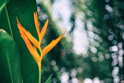 orange tropical exotic flowers blooming on lush leaf in rainforest, dark green nature background