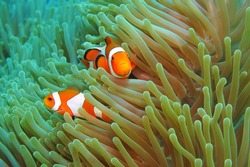 Orange tropical nemo fish in the green anemone. Anemonefish on the coral reef. Scuba diving with ocean wildlife. Detail of the reef fish in the underwater enviroment.