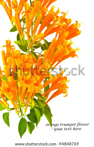 Orange trumpet flower ( fire cracker vine ) on white background , thailand