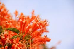 Orange trumpet flowers (Pyrostegia venusta) blooming with green leaves background. Pyrostegia venusta is also known as Orange trumpet, Flame flower, Fire-cracker vine, flamevine, orange trumpetvine.